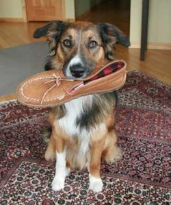 How To Prevent Dogs From Biting Shoes
