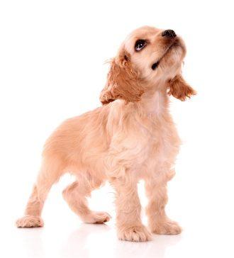 ydf-square-puppy