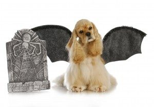 halloween dog - cocker spaniel wearing bat wings sitting beside tomb stone on white background