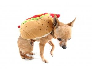 A chihuahua dressed in a hot dog costume. The dog's head is down, its ears are back, and one front paw is lifted.