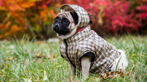 Pug in a fall coat sitting on the grass with brightly colored leaves on the trees behind him