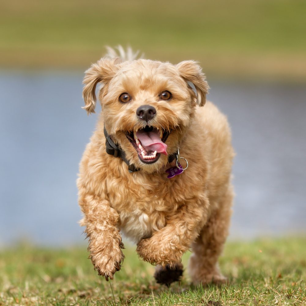 A mixed breed, curly-haired dog is running toward the camera with a big goofy smile on his face.
