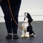 cocker spaniel sitting in heel position next to handler, looking up expectantly